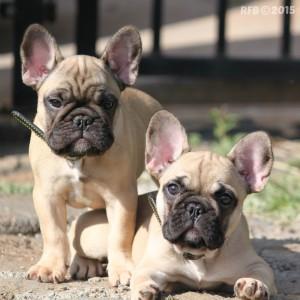 French-Bulldog-IvyRushWM