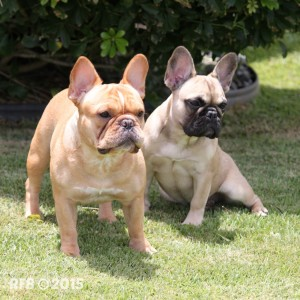 RFB-FrenchBulldogs-KirraIvy01WM