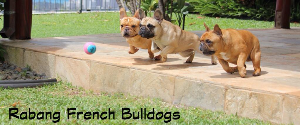 Rabang French Bulldogs